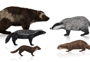 Mustelids prev
