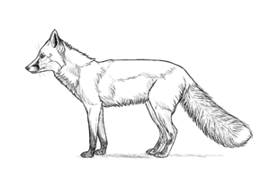 how to draw fox preview