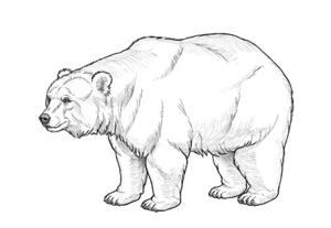 How to draw bear preview