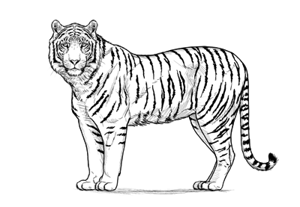 How to draw tiger preview2