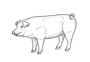 How to draw pig preview