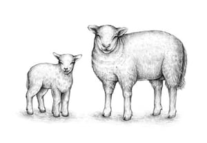 Drawing sheep preview