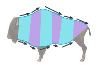 bison body