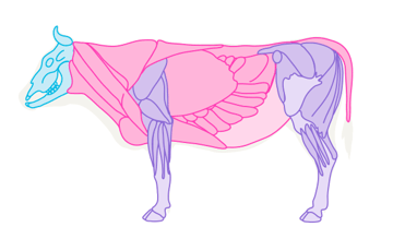 cow muscles