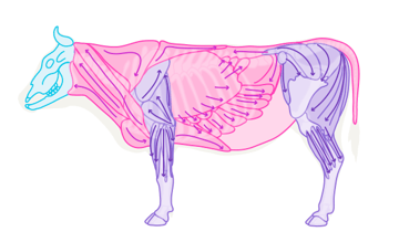 cow muscles anatomy