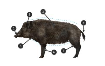 wild boar body