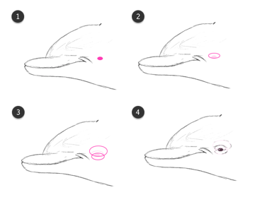 dolphin whale eyes how to draw