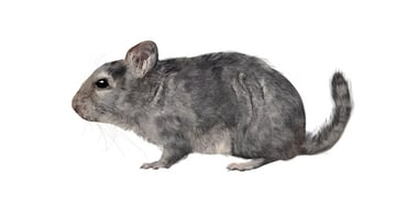 rodents how to draw chinchilla