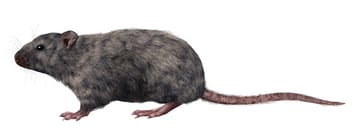 rodents how to draw rat