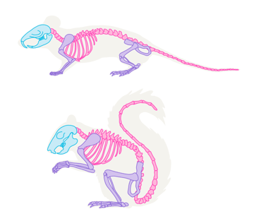 small rodents skeleton mouse squirrel