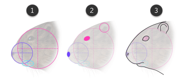 how to draw muskrat head