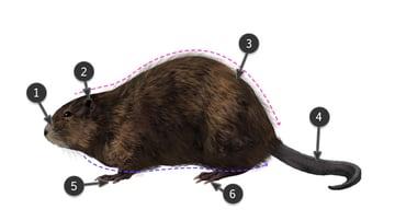 how to draw muskrat body
