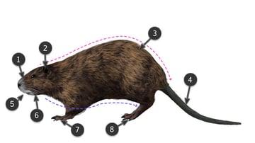 how to draw nutria body