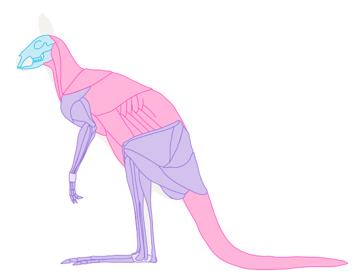 kangaroo muscles