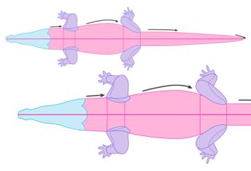 crocodile anatomy drawiing muscles body 2