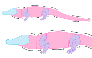crocodile anatomy drawiing muscles body