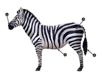 how to draw zebra pattern stripes 3