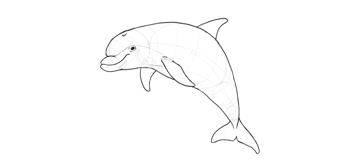 dolphin details