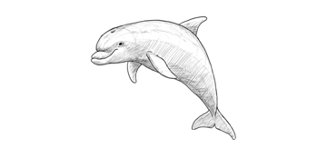dolphin drawing details