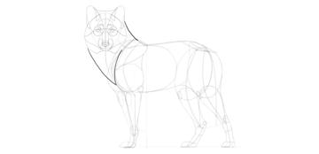 wolf drawing mane
