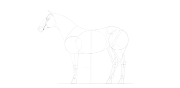 horse drawing head muscles detailed
