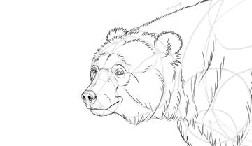 bear drawing face fur