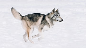destaturated husky