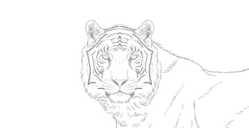 skethc tiger pattern on the head