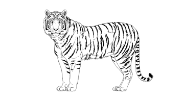how to draw stripes on tiger body