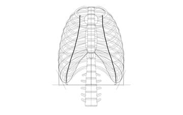 cartilage ribs