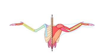 bird muscles back