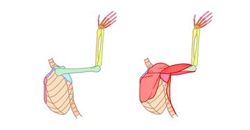 human arm breats muscles side