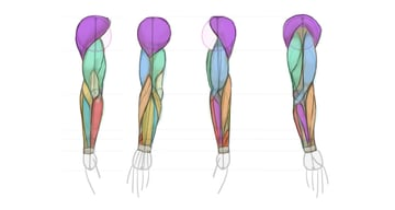 arm anatomy diagram