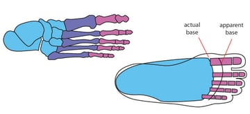 Basic anatomy of the foot