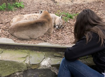 Monika observing cougars in Zoo Opole I love being so close to them