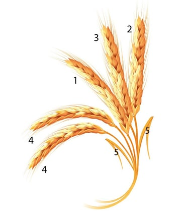 final group of wheat