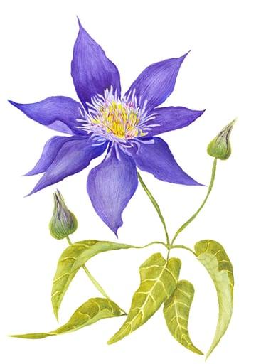 Purple Bindweed Botanical Illustration