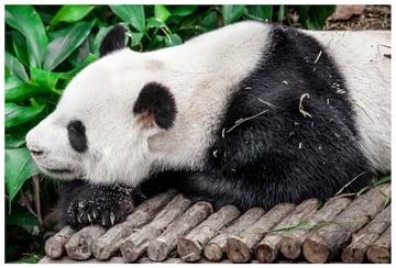 place panda