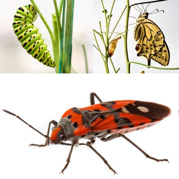 Small insects are easily photographed at home too and you can have long time projects with them