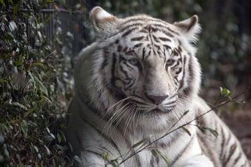 Tiger Stock Via Pixabay