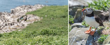 puffin diptych