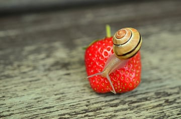 snail on strawberry