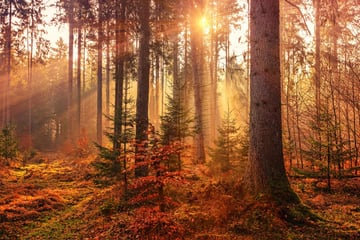 Forest scene at sunset