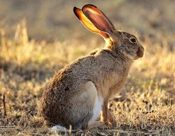 Scrub Hare - Photodune