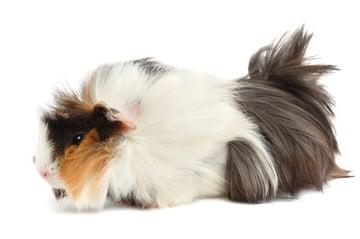 Photodune Guinea Pig