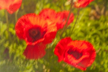 Impressionistic photo of poppies
