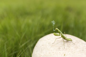 Grasshopper smoking a cigarette both calming and strange