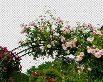 select lower branches  upper branch rose