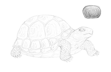 Creating the pattern of the scutes