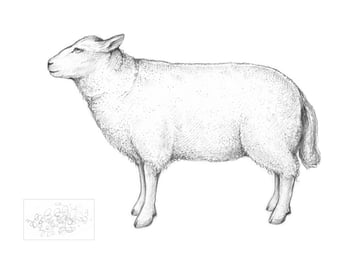 An illustration of a sheep in a side view